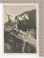 Chèvre / Ziege / Goat / Capra (1928) - Animaux & Faune