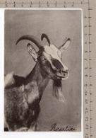 Chèvre / Ziege / Goat / Capra (1905) - Animaux & Faune