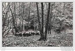 SAINT - MEDARD ..--  Sous - Bois . Harde De Sangliers . Voir Verso . - Herbeumont