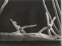 Grande Photo- Etoile De Mer En Gros Plan - Pub Transfusine -Médicament Laboratoire Médecine Publicité - Photographs
