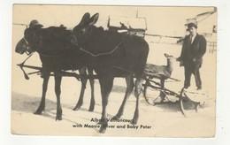 "CHELMSFORD, Ontario, Canada, Trained Moose ""Moosie"" & ""Silver"" Pulling Sleigh, 1941 Postcard, Sudbury County - Ontario"