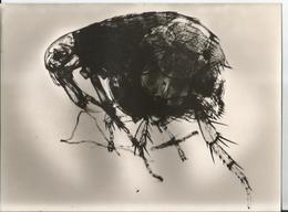 Grande Photo-Pulex Chéopis- Insecte -en Gros Plan-Pub Transfusine-Médicament Laboratoire Médecine Publicité - Photographs