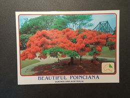 Ponciana Baum, Australien ( Gelaufen 1995); H24 - Bäume