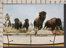 20436/ WINNIPEG, Diorama, Métis Hunting Buffalo, Manitoba Museum Of Man And Nature - Winnipeg