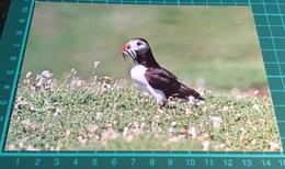 Puffin ~ Fratercula Arctica - Birds