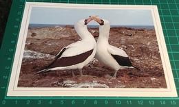 Nazca Boobies ~ Courtship - Birds