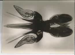 Grande Photo -Tabanus Bovinus Bouche Du Taon - Insecte- Pub Transfusine - Science Laboratoire Médecine  Faune - Photographs