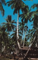 AM07 Penang, Toddy Tapper Climbing Up A Tree - Malaysia