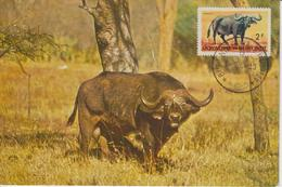 Burundi Carte Maximum Animaux 1964 Buffle 83 - Burundi