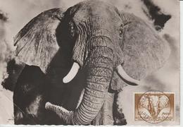 Guinée Carte Maximum Animaux 1959 Eléphant 13 - Guinée (1958-...)