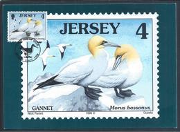 Gannet Morus Bassanus. Triple Goose-patrol Maximo Postcard. Webbed. Palmípedes. Jersey. - Oies