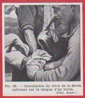Inoculation Du Virus De La Fièvre Aphteuse Sur La Langue D'un Bovin. Larousse Médical De 1974. - Vieux Papiers