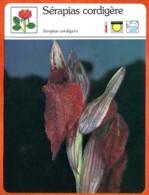 SERAPIAS CORDIGERE  Orchidée  Fleurs Des Jardins Fiche Illustree Documentée Fleur - Fiches Illustrées