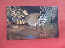 Raccoon Kalamazoo Nature Center   Ref 3290 - Animals