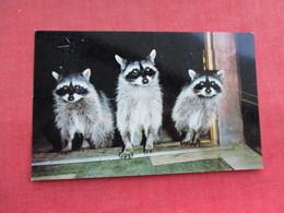 Three Raccoon     Ref 3290 - Animals