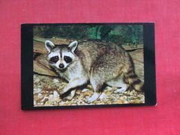 Raccoon  On Alert Raises Paw     Ref 3290 - Animals