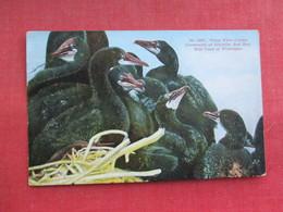 Young White Crested Cormorants  Washington     Ref 3290 - Birds