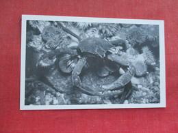 Kelp Crab     Ref 3290 - Fish & Shellfish