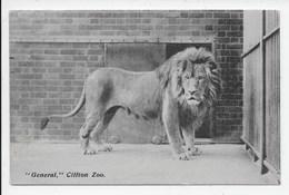 "Lion - ""General"" Clifton Zoo - Leones"