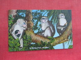 Monkey Jungle  Miami Florida       Ref 3291 - Monkeys