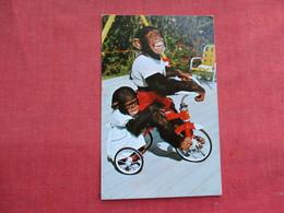 Me & My Shadow  Riding A Bike  Chimpanzees Miami Florida   Ref 3291 - Animals