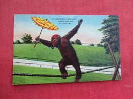 Performing Chimpanzee  St Louis Zoo   Ref 3291 - Animals