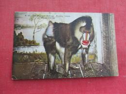 The Mandrill   Baboon Florida   Ref 3292 - Animals