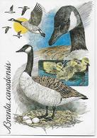 CPSM Animaux - Oiseaux - Branta Canadensis - Dessin - Oeufs - - Birds