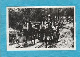 Carte Photo : Au Pays Landais. - Attelage De Mules En Été. - Autres Communes