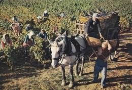 Beaune - Scène De Vendanges Au Domaine Patriarche Père & Fils - Vigne Vin Cave Attelage Viticulture Récolte - Beaune