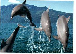 Dolfijn Dolphin Dauphin Delphin - Dauphins