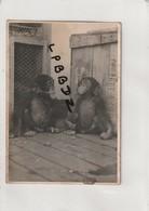 LOT De 2 PHOTOS - GUINEE  - Tarzan Et Ses Petits Chimpanzes - Benjamain Et Chita , ANIMAUX SAUVAGES - SINGES - Afrique