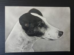 """Campione """"Rebus Di Stresa"""" Fox Terrier Liscio - Milano - Dogs"""