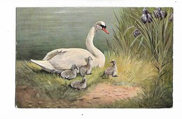 Cygnes -  Illustrateur  -  Muller -   Munchen       Cygne Et Ses Petits - Pájaros