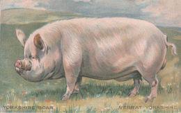 YORKSHIRE BOAR (cochon, Publicité PROVENDINE Est Le Seul Bon Produit Pour Porcs) - Angleterre