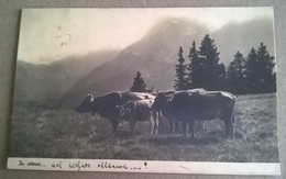 MUCCHE (157) - Mucche