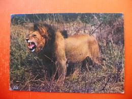FAUNE AFRICAINE:Lion.AFRICAN FAUNA - Liberia