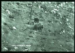 PARCO NAZIONALE D'ABRUZZO - 1963 - GRUPPO DI  ORSI - SPEDITA DA PESCASSEROLI - Orsi