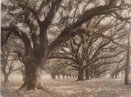 LIVE OAKS NEW ORLEANS AUDUBON PARK AMERICAN  USA Dendrology, Forest, Xylology, Forestry  Fonds Victor FORBIN (1864-1947) - Otros
