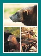 24 Calviac Reserve Zoologique Glouton Vison D' Europe - Animaux & Faune