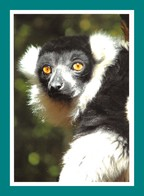24 Calviac Reserve Zoologique Lémur Vari Noir Et Blanc - Animaux & Faune