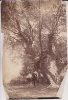 A GREAT LIVE OAK EAST SAN GABRIEL CALIFORNIA ETA Dendrology, Forest, Xylology, Forestry  Fonds Victor FORBIN (1864-1947) - Otros