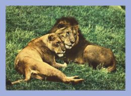 Carte Moderne - Fauves - 1494. East African Game - Lion And Lioness - Lions