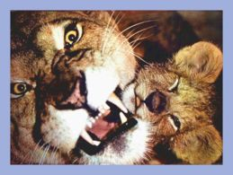 Carte Moderne - Fauves - 5223. Lionne Et Lionceau - Lions