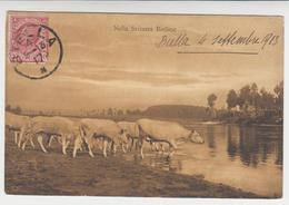 SU 024 /  NELLA SVIZZERA  BIELLESE , Troupeau De Vache - Biella
