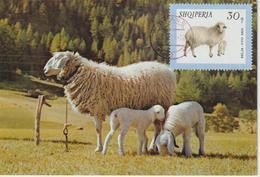 Albanie Carte Maximum Animaux 1966 Mouton 854 - Albanien