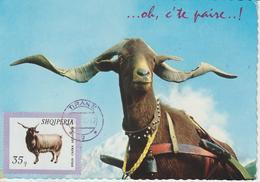 Albanie Carte Maximum Animaux 1966 Chévre 855 - Albanien