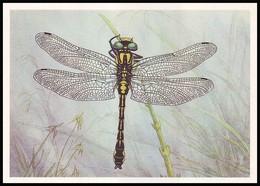 DRAGONFLY - Comphus Vulgatissimus L. Artist L. Aristov. Unused Postcard (USSR, 1987) - Insecten