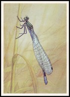 DRAGONFLY - Coenagrion Hastulatum Charp. Artist L. Aristov. Unused Postcard (USSR, 1987) - Insecten