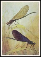 DRAGONFLY - Calopteryx Virgo L. Artist L. Aristov. Unused Postcard (USSR, 1987) - Insecten
